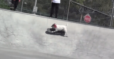 Un parson russel terrier fou de skateboard