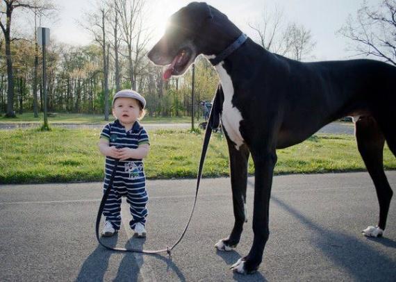 bébé promène grand chien ou l'inverse