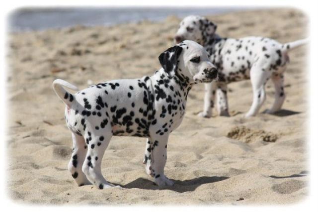 chiots dalmatiens