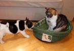 bulldog tente de récupérer son panier face à un chat stoïque