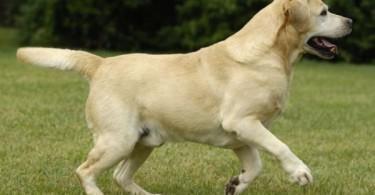 labrador adulte jaune