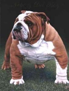 bulldog anglais adulte