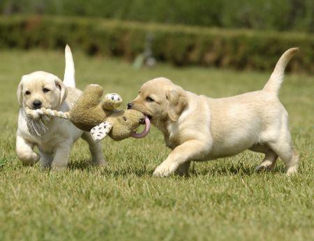 chiots qui jouent avec une peluche