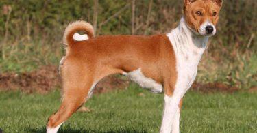 le basenji est un chien qui aboie peu