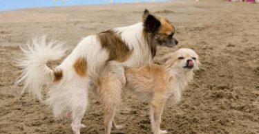 accouplement de la chienne
