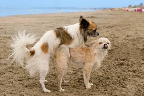 accouplement chienne