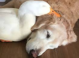 golden retriever et canard