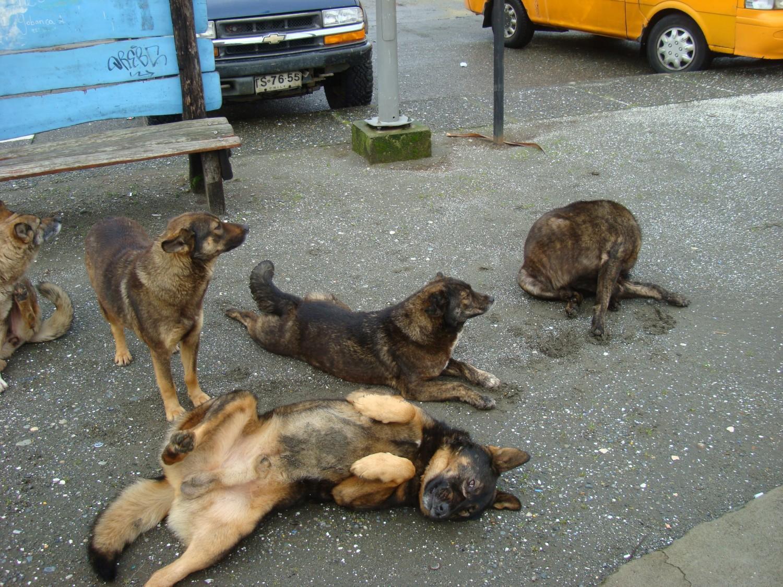 chiens vagabonds