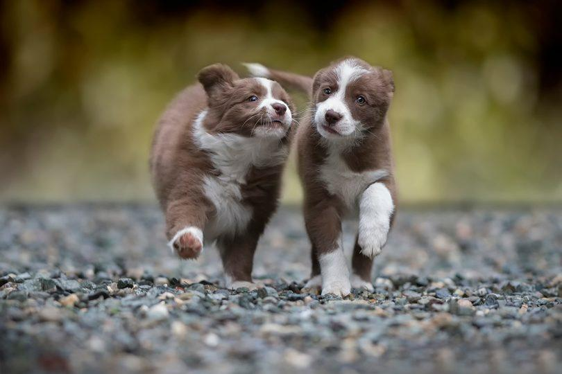 chiot border collie