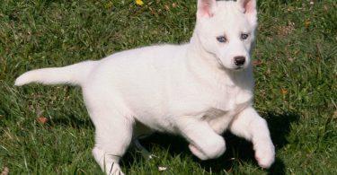 chiot husky