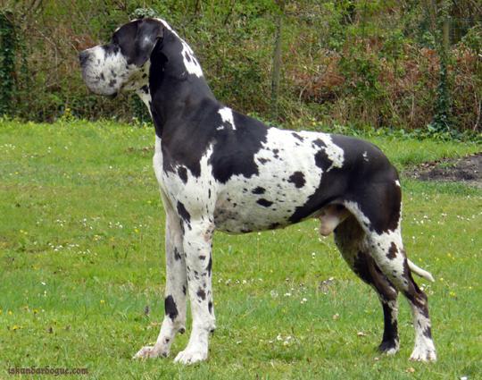 dogue allemand