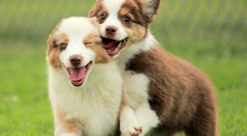 2 chiots border collie