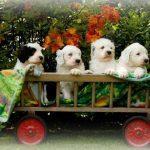 4 chiots bobtail dans une mini roulotte