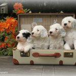 4 chiots bobtail dans une valise