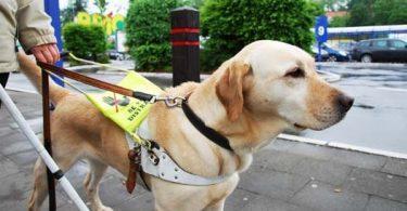 chien guide pour aveugle