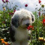 chiot bobtail qui sent une fleur
