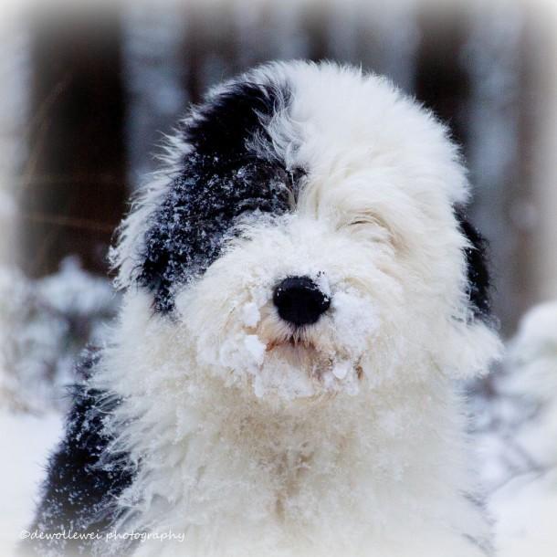 chiot bobtail recouvert de neige