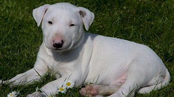 chiot bull terrier