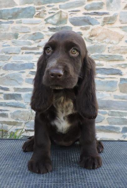 chiot field spaniel