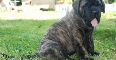 chiot mastiff