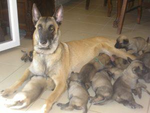 chiots malinois tètent leur mère