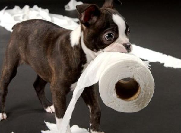 coprophagie chez le chien
