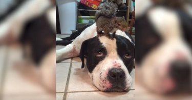 dogue argentin couché avec un écureuil sur la tête