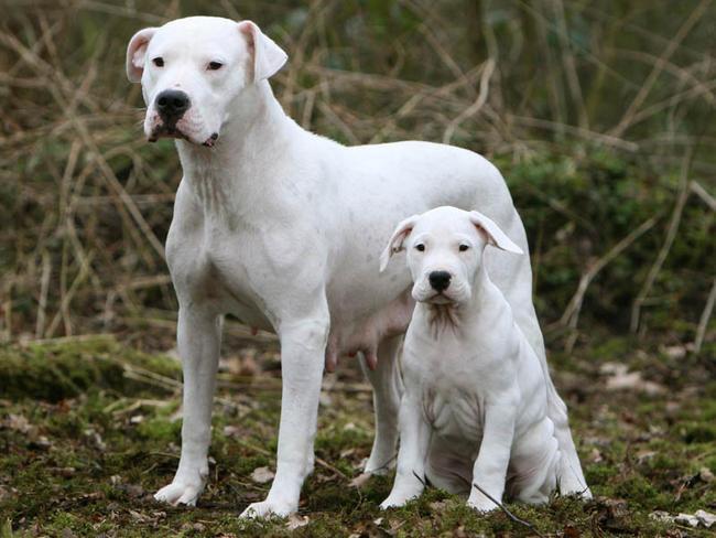 dogue argentin femelle avec son petit