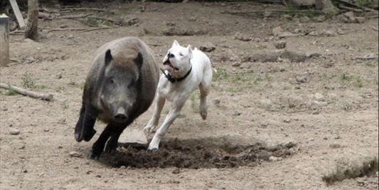 dogue argentin qui chasse un sanglier