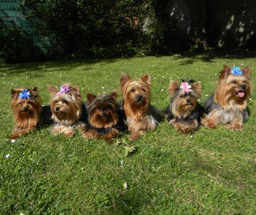 élevage canin de yorkshires