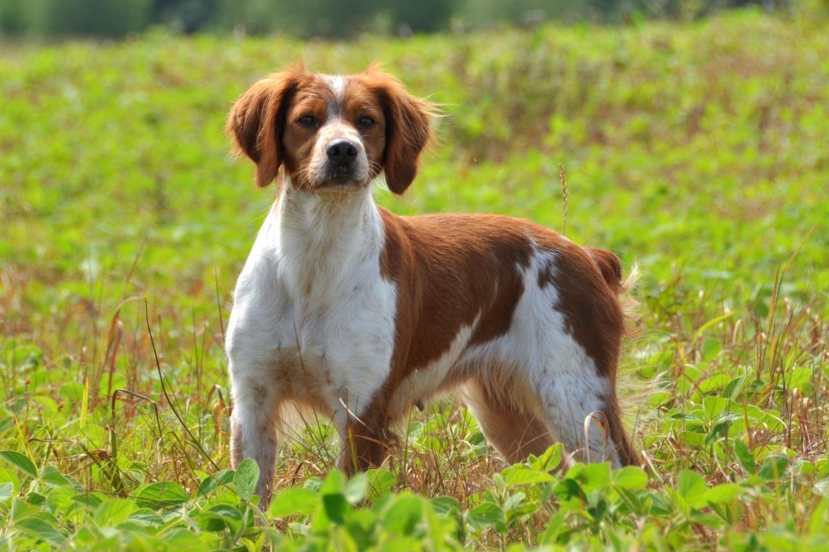 L'épagneul breton - Blog Canin