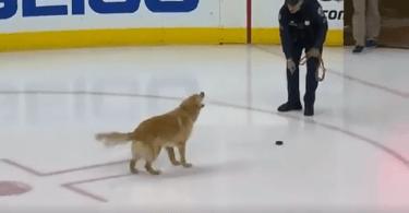 golden retriever joueur de hockey sur glace