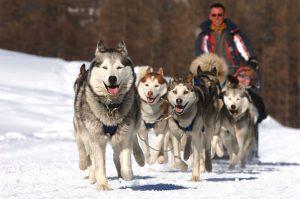 huskies tirent un traineau dans la neige