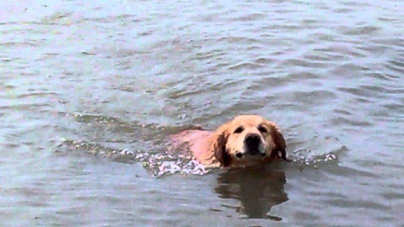 labrador en train de nager
