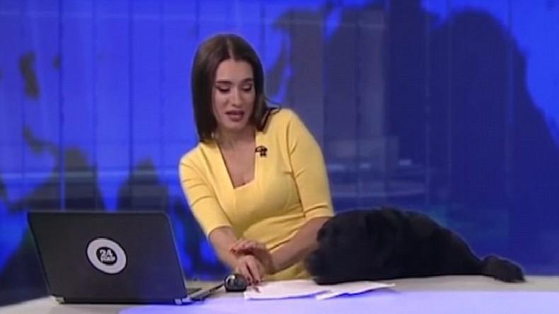 labrador noir tente de monter sur la table du plateau du JT russe