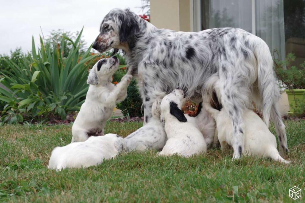 Le setter anglais - Blog Canin