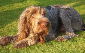 spinone couché