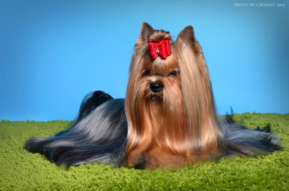 yorkshire à poil long