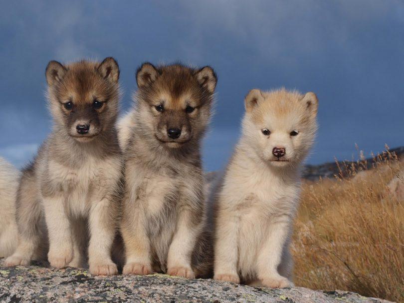 3 chiots groenlandais 3 mois
