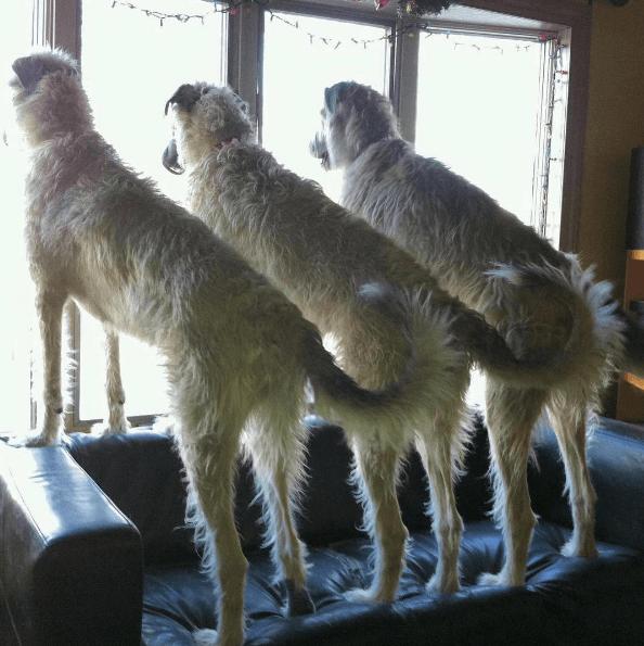 3 lévriers irlandais qui regardent par la fenêtre