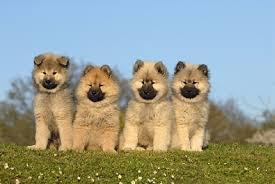 4 chiots eurasier sable
