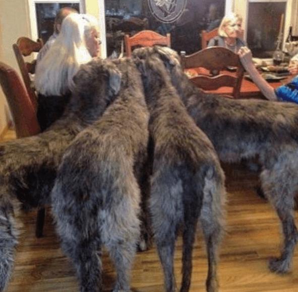 4 lévriers irlandais réclament à manger pendant le repas de la famille