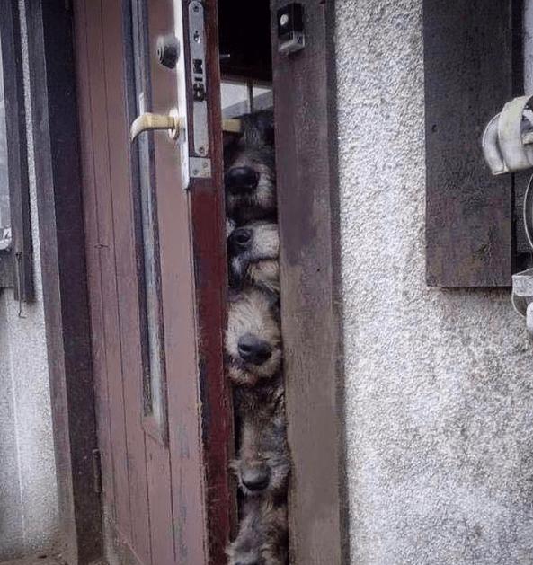 5 museaux de lévriers irlandais qui veulent ouvrir la porte