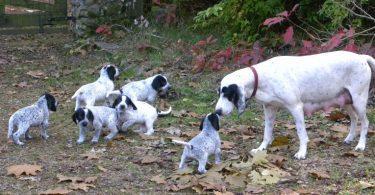 6 chiots ariégeois avec leur mère