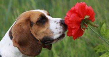 beagle renifle une fleur