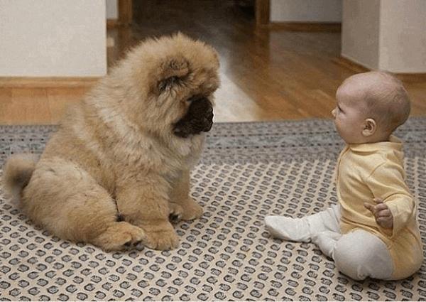 chiot chow-chow avec un bébé