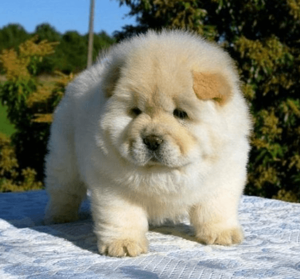 chiot chow-chow blanc