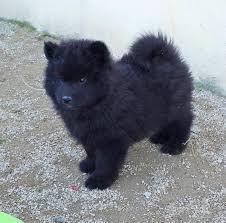 chiot eurasier noir