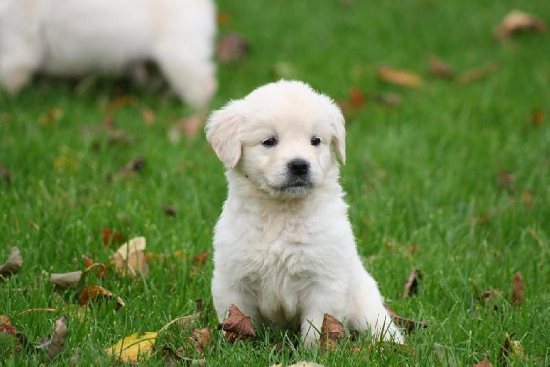 chiot golden retriever blanc