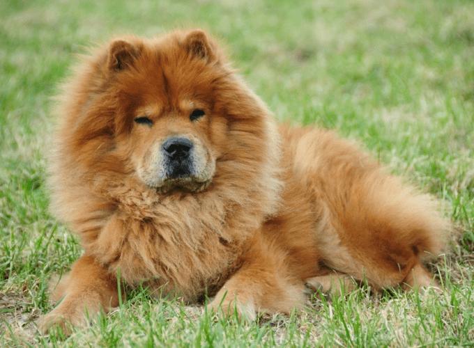 chow-chow couché dans l'herbe